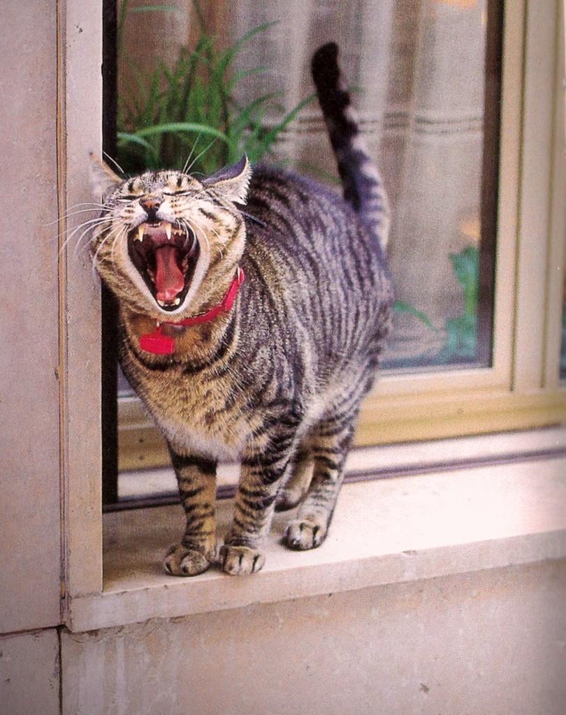 Cat yawning at window